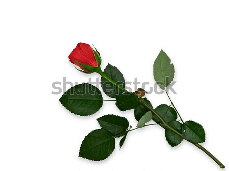 single red rose at the plotting paper stock photo sergei