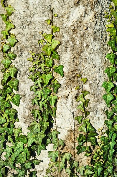Engels klimop groene oude boom blad Stockfoto © SRNR