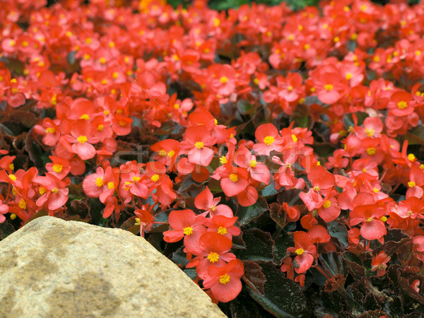 写真 赤 黄色の花 石 庭園 夏 ストックフォト © SRNR