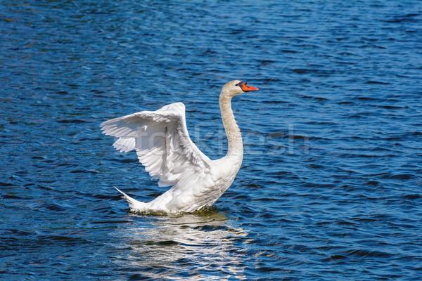лебедя Flying вверх озеро воды весны Сток-фото © SRNR