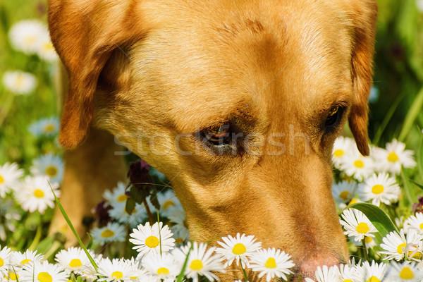 Dog Smelling Flowers Stock photo © SRNR