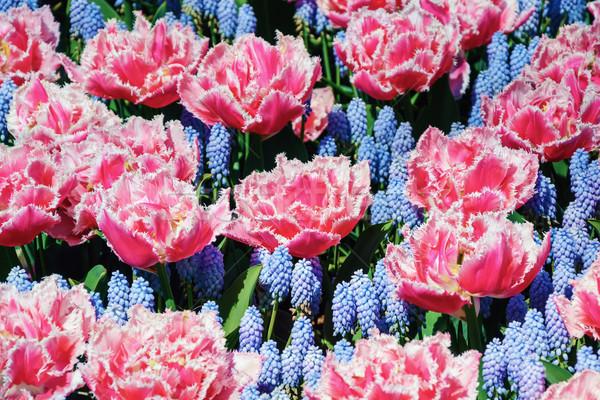 Tulipas vermelho flores flor ambiente flor Foto stock © SRNR