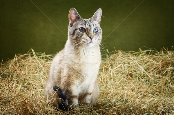 Chat foin yeux nature animaux chatte Photo stock © SRNR