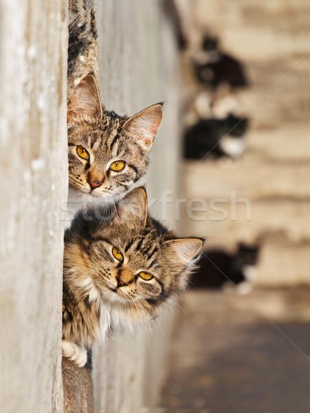 Macskák kettő arany szemek romantikus jelenet Stock fotó © SRNR