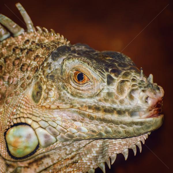 Portrait of Iguana Stock photo © SRNR