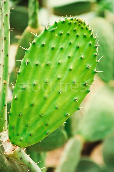 Cactus Stock photo © SRNR