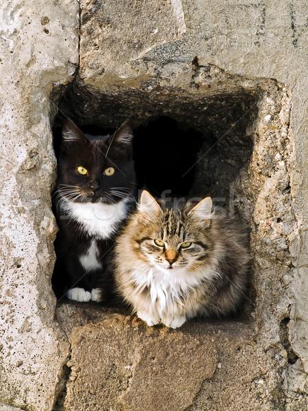 Gatos ao ar livre veja fora parede gatinho Foto stock © SRNR