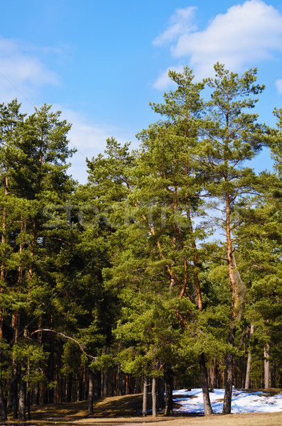 Pine Forest  Stock photo © SRNR