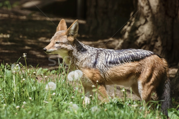 Black-backed Jackal  Stock photo © SRNR