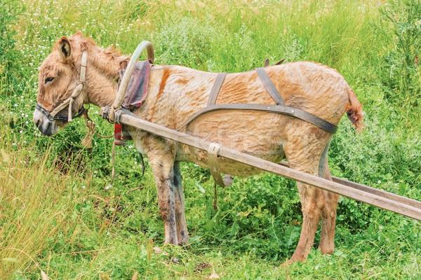 Szamár emlős állatvilág háziasított Stock fotó © SRNR