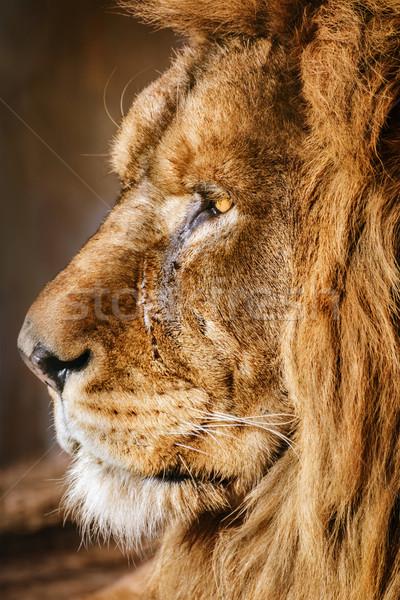 Portrait of Lion Stock photo © SRNR