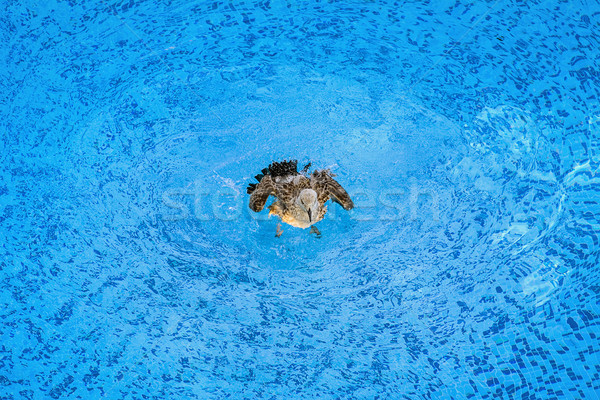Mouette jeunes piscine nature oiseau Photo stock © SRNR