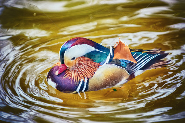 Mandarin Duck on the Water Stock photo © SRNR
