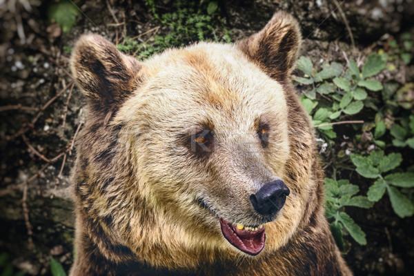 Portrait of the Bear Stock photo © SRNR