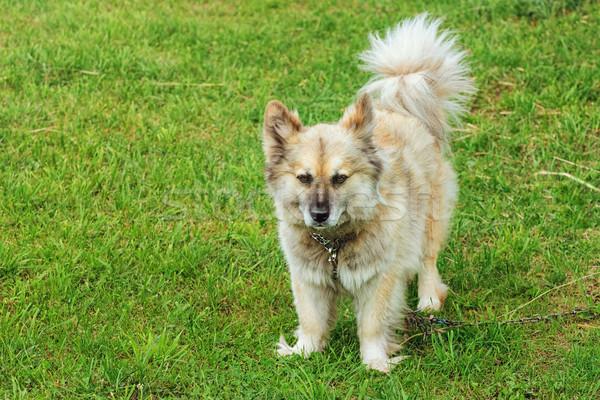Dog on Grass Stock photo © SRNR