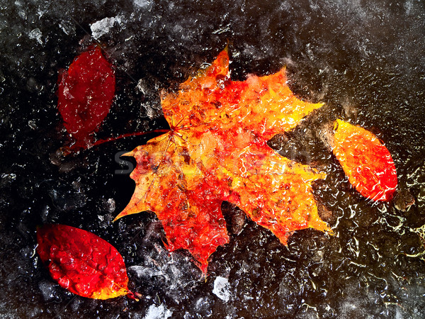 autumn leaves in ice Stock photo © SRNR