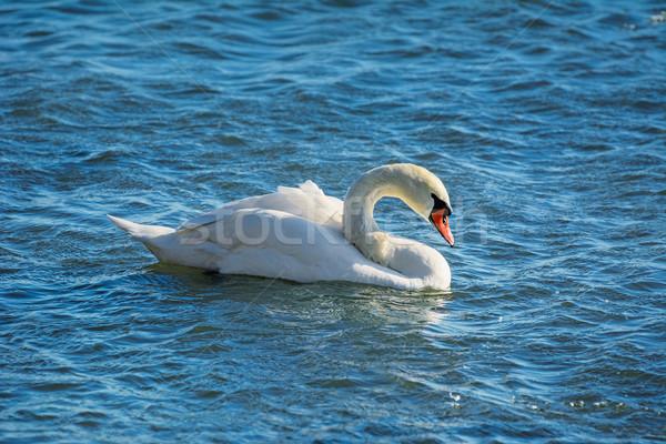 Hattyú kecses víz madár állat hullám Stock fotó © SRNR
