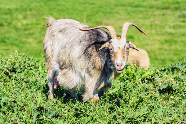 няня коза зеленый пастбище природы области Сток-фото © SRNR