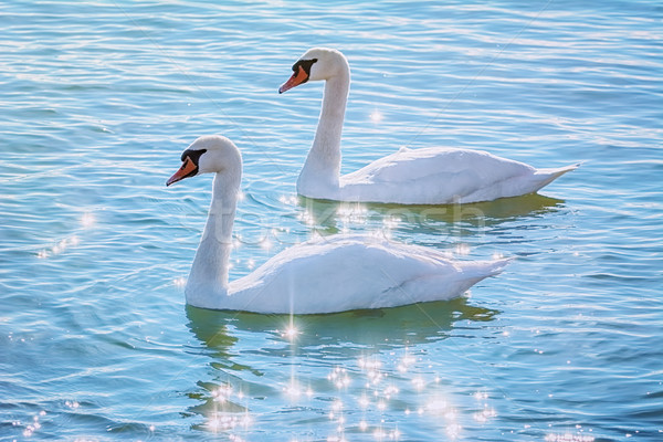 Swans on the Lake Stock photo © SRNR