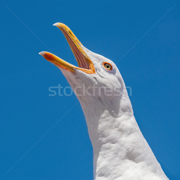Seagull Stock photo © SRNR