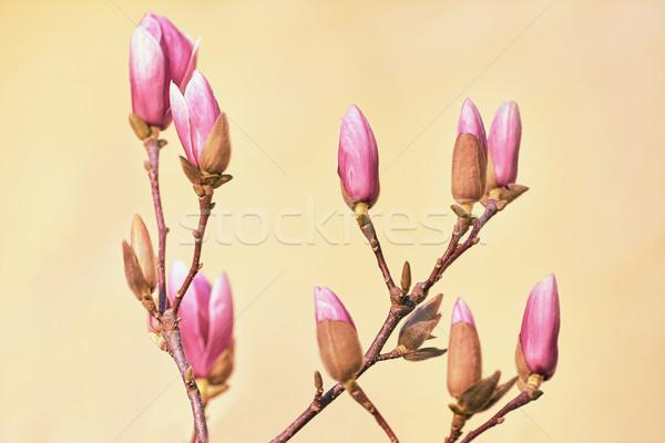 Różowy magnolia kwiaty żółty charakter oddziału Zdjęcia stock © SRNR