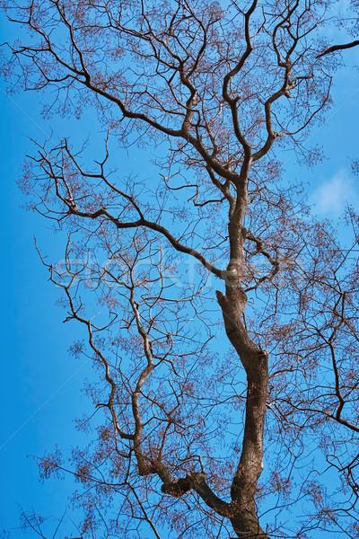 Desnudo árbol cielo cielo azul naturaleza otono Foto stock © SRNR