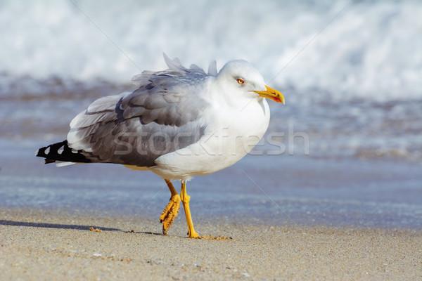 Gaivota praia caminhada preto mar pássaro Foto stock © SRNR
