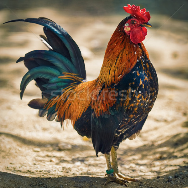 Brown Leghorn Rooster Stock photo © SRNR