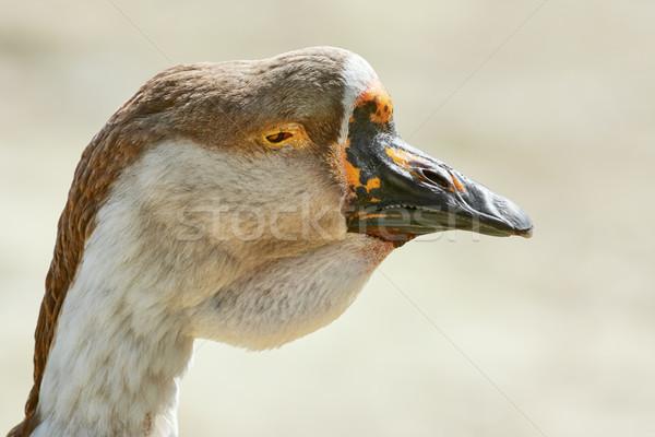 Portré liba közelkép állat számla vad Stock fotó © SRNR