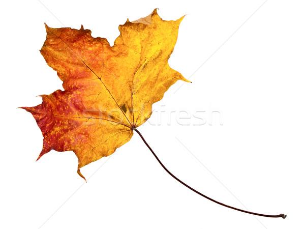 Automne feuille d'érable blanche nature feuille orange Photo stock © SRNR
