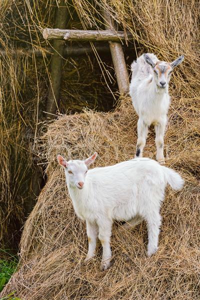 Two White Goatlings Stock photo © SRNR