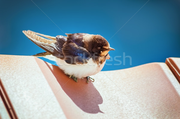 Swallow Stock photo © SRNR