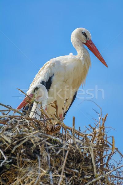 гнезда два птица животного законопроект аистов Сток-фото © SRNR