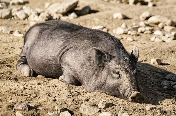 Sleeping Wild Boar Stock photo © SRNR