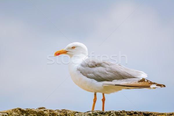 Mewa ogrodzenia ptaków zwierząt zewnątrz przyrody Zdjęcia stock © SRNR