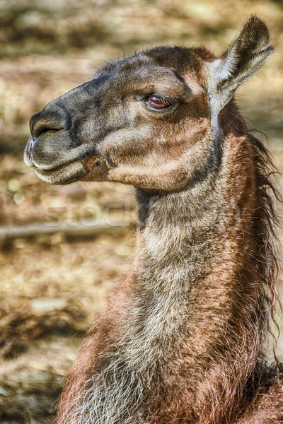 Portrait of Llama Stock photo © SRNR