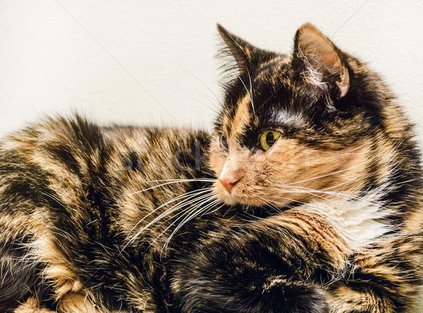 Edad gato gato doméstico mentiras pared cara Foto stock © SRNR