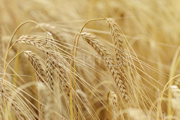 Seigle domaine alimentaire usine grain Photo stock © SRNR