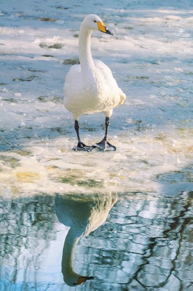Cisne gelo branco pássaro inverno frio Foto stock © SRNR