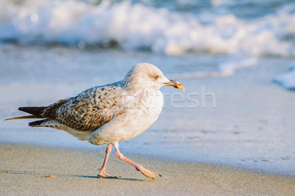 Foto stock: Jovem · gaivota · caminhada · animal · ao · ar · livre