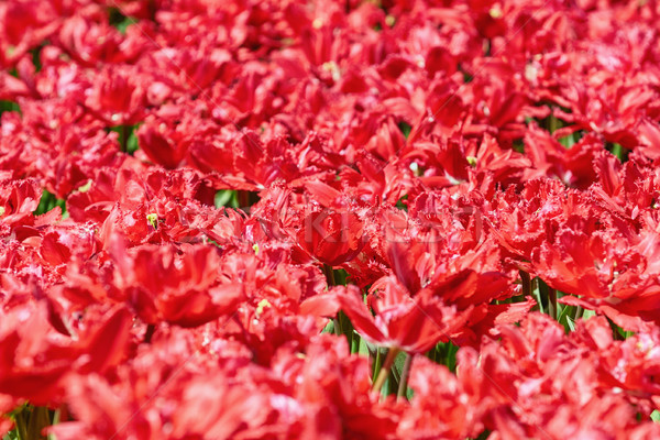 Field of Red Tulips Stock photo © SRNR