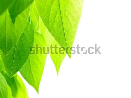 свежесть тополь листьев белый копия пространства текста Сток-фото © SRNR