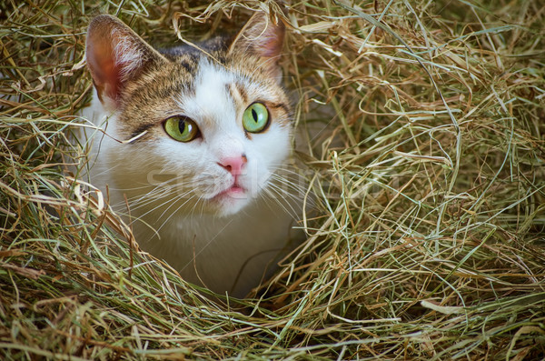 Cat in the Hay Stock photo © SRNR