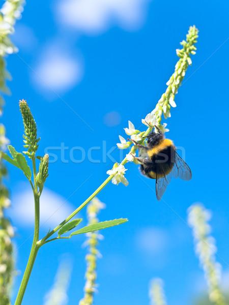 Abejorro flor blanca cielo azul hierba naturaleza azul Foto stock © SRNR