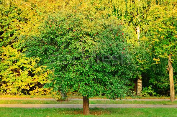Elma ağacı sonbahar orman açık açık havada kimse Stok fotoğraf © SRNR