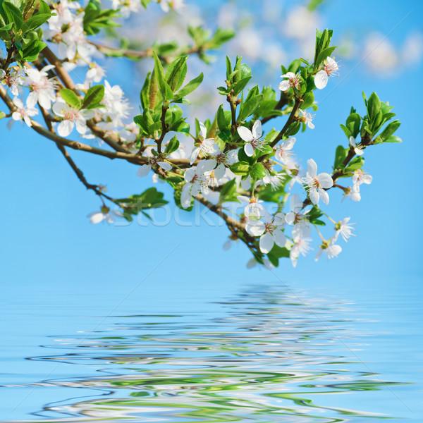 Blooming Cherry Plum Stock photo © SRNR