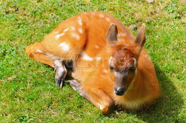 Bushbuck Antelope Stock photo © SRNR