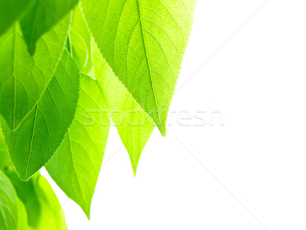 green leaves Stock photo © SRNR