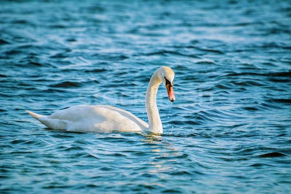 Blanco cisne negro mar agua Foto stock © SRNR