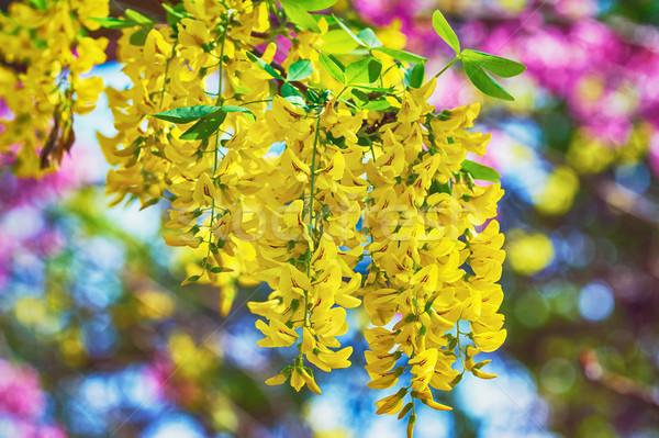 Common Laburnum Flowers Stock photo © SRNR
